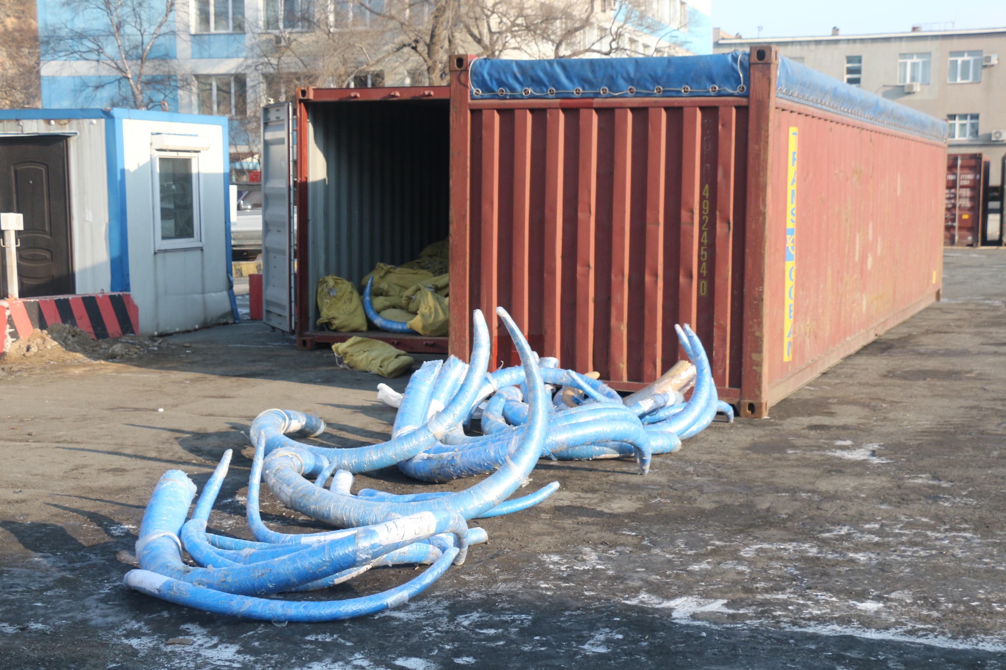 Приморские таможенники пресекли вывоз 4,5 тонны бивней мамонта